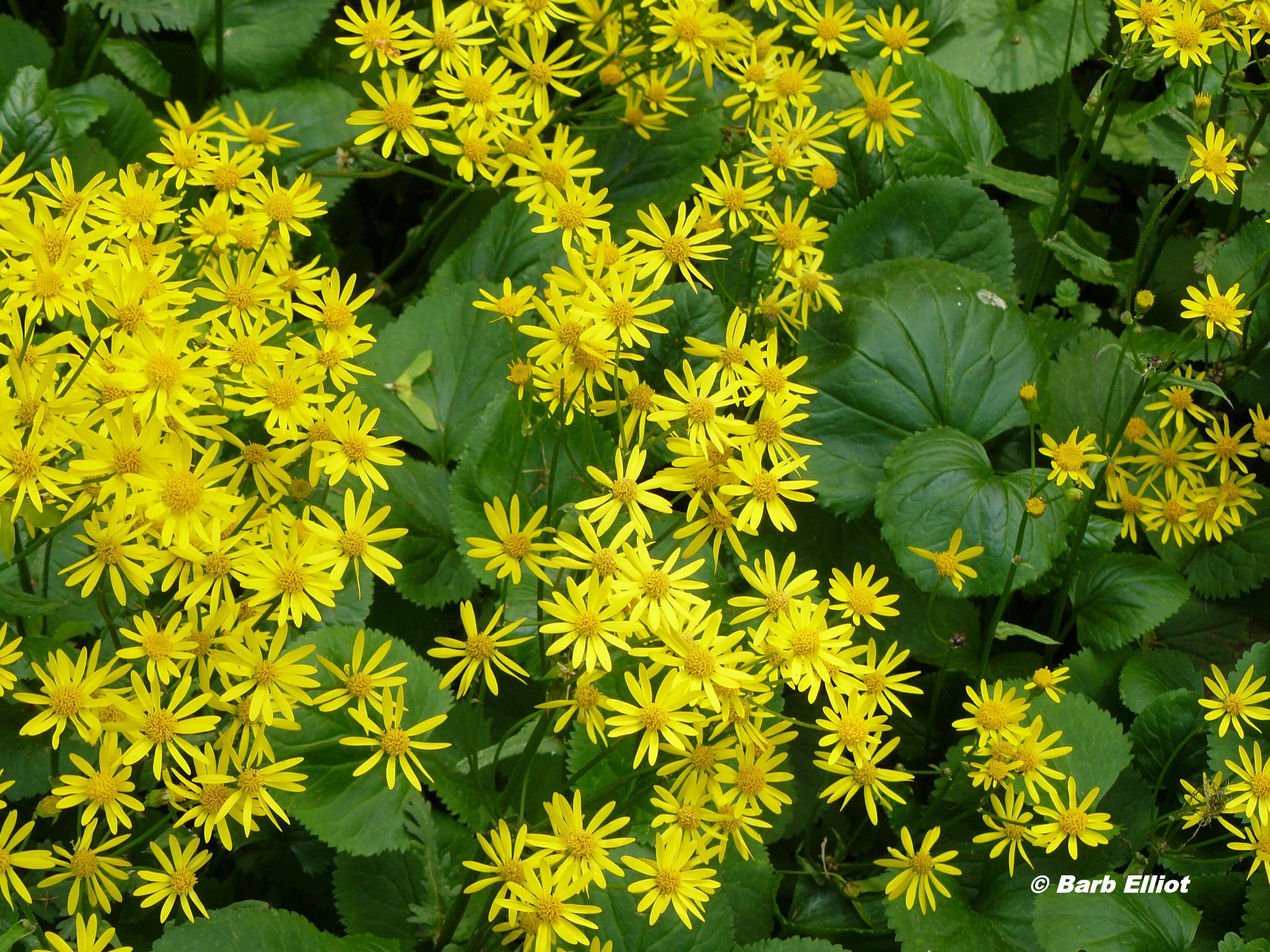 Groundcovers backyardsfornature golden ragwort has spectacular yellow flowers the dense foliage is attractive during summer and fall mightylinksfo Gallery