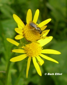 Early spring flowers of Golden Ragwort are important for pollinators.  © Barb Elliot.  Click to enlarge.