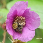 Bumble Bee on Flowering Raspberry (Rubus odorata).   © Barb Elliot.  Click to enlarge.